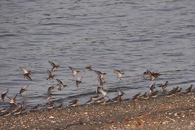 Shorebirds and Boats November 3,  2009