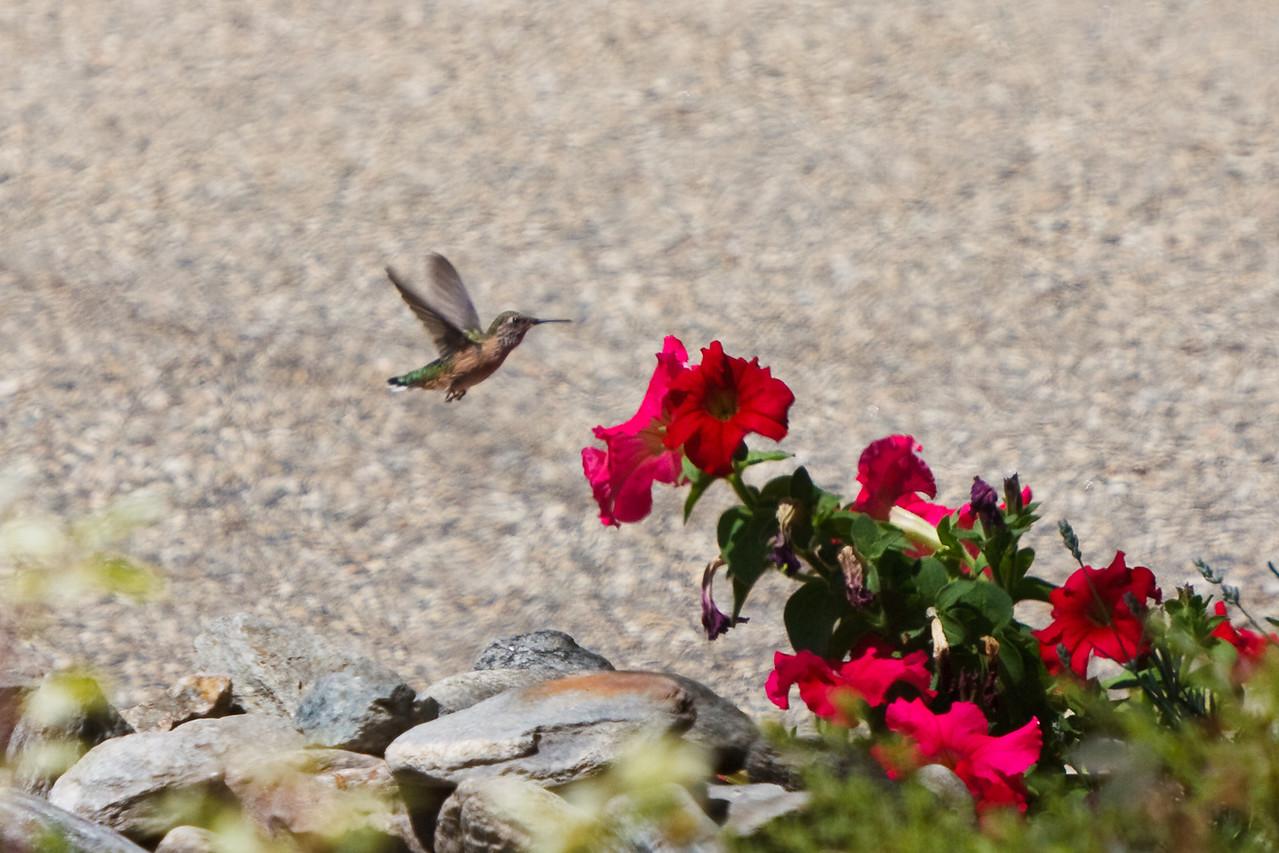 Hummingbird along the driveway