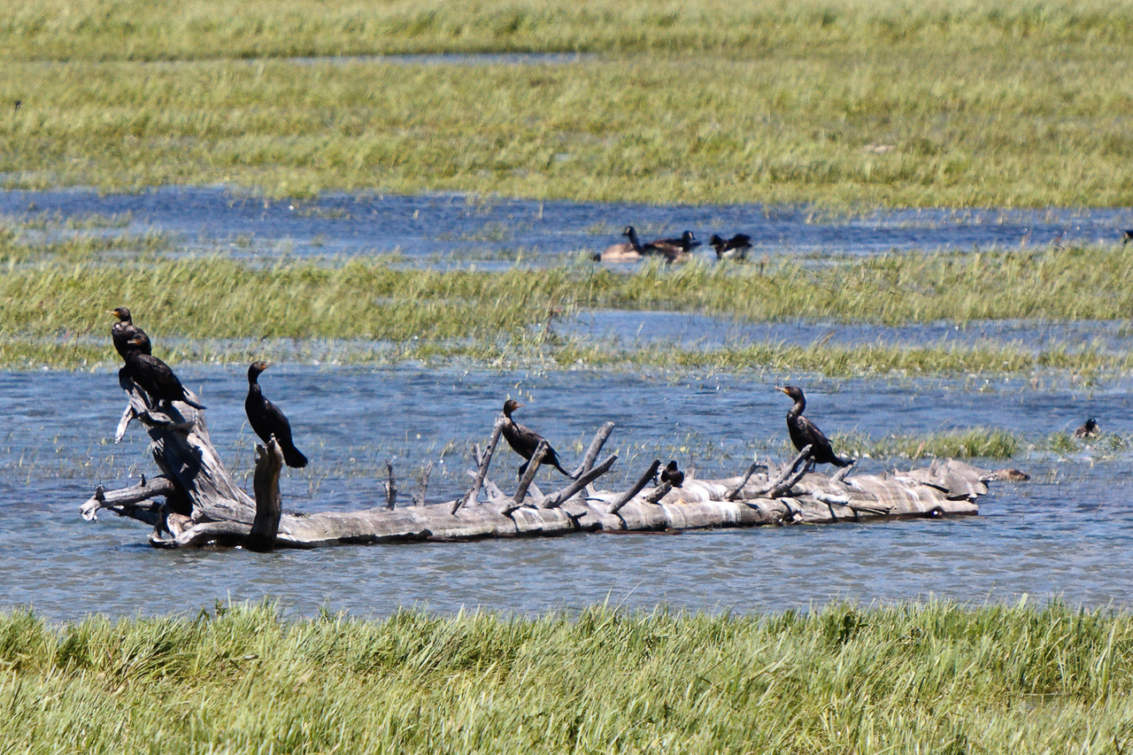 Double-crested cormorants drying out at Pelican Creek