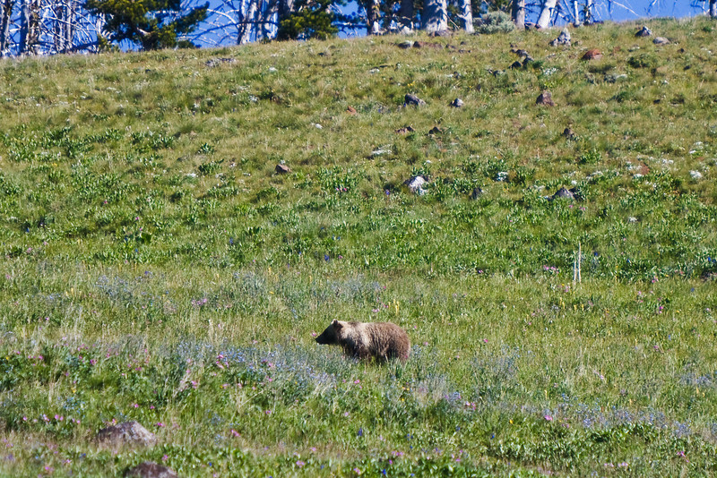 A grizzly sighted high on a hill