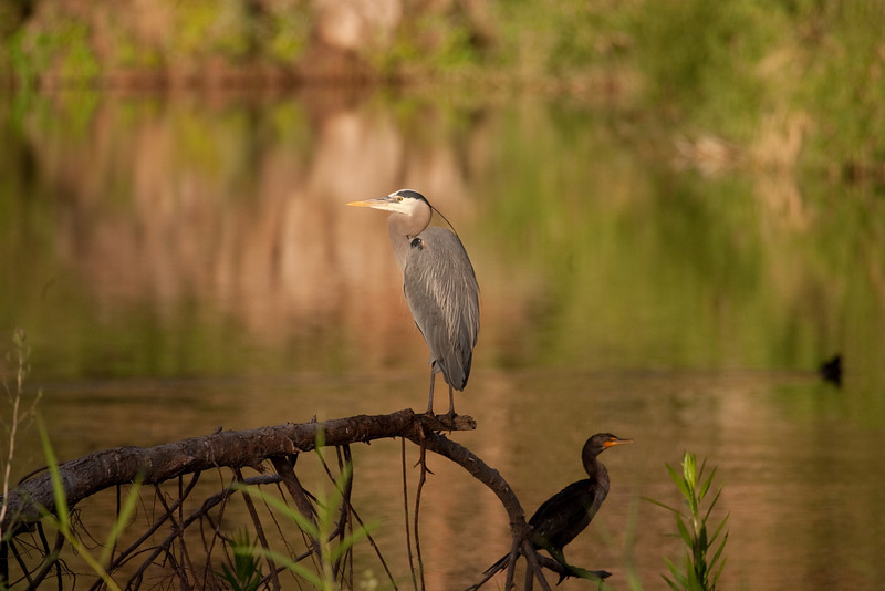 heron and cormorant