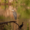 heron and cormorant