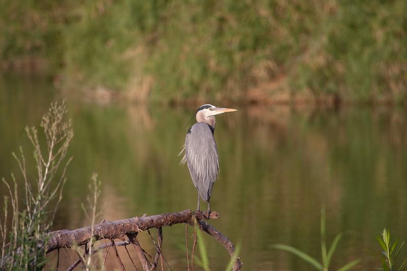 the same heron again