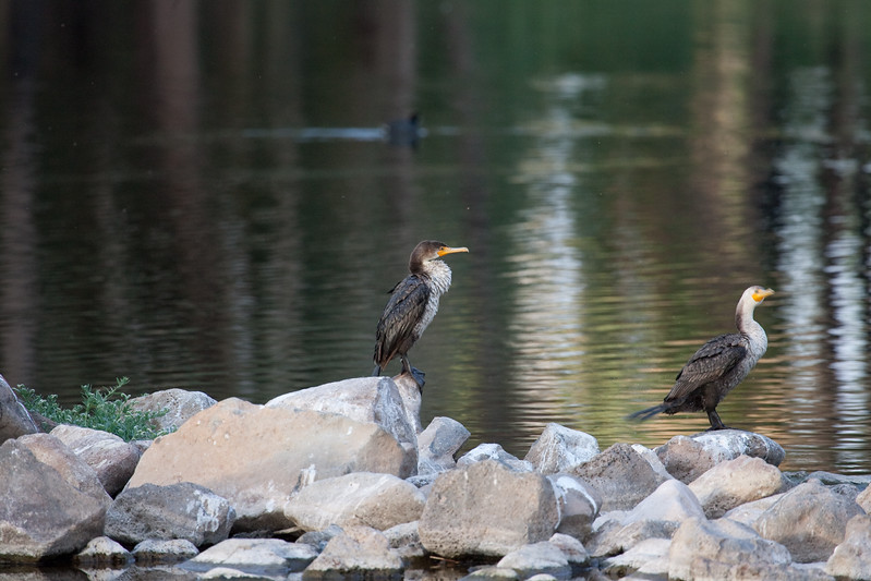 and yet again......the cormorants