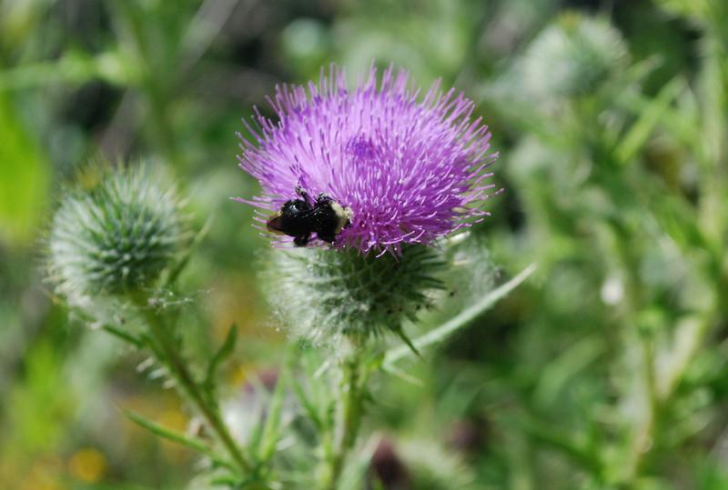 2010-07-17 OR PIR thistle w bee