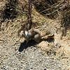 2010-08-23 San Simeon Beach California ground squirrel 1