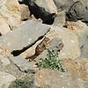 2010-08-24 Morro Bay California Ground Squirrel 1