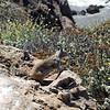 2010-08-23 San Simeon Beach California ground squirrel 2