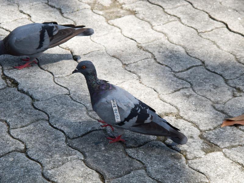 Saw a tagged bird in Kota Kinabalu, Sabah.