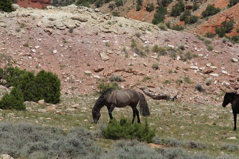 Wild mustang in the Pryor mountains