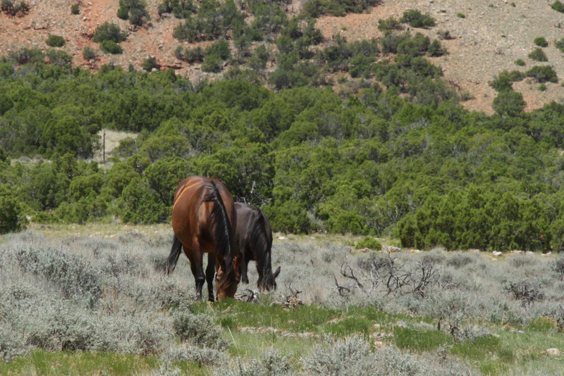 Wild mustangs in the Pryor mountains