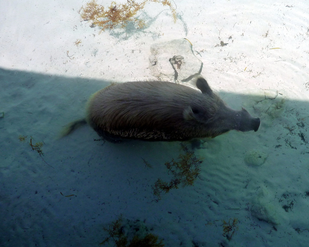 Wild boar swimming is water on Ship Channel Cay