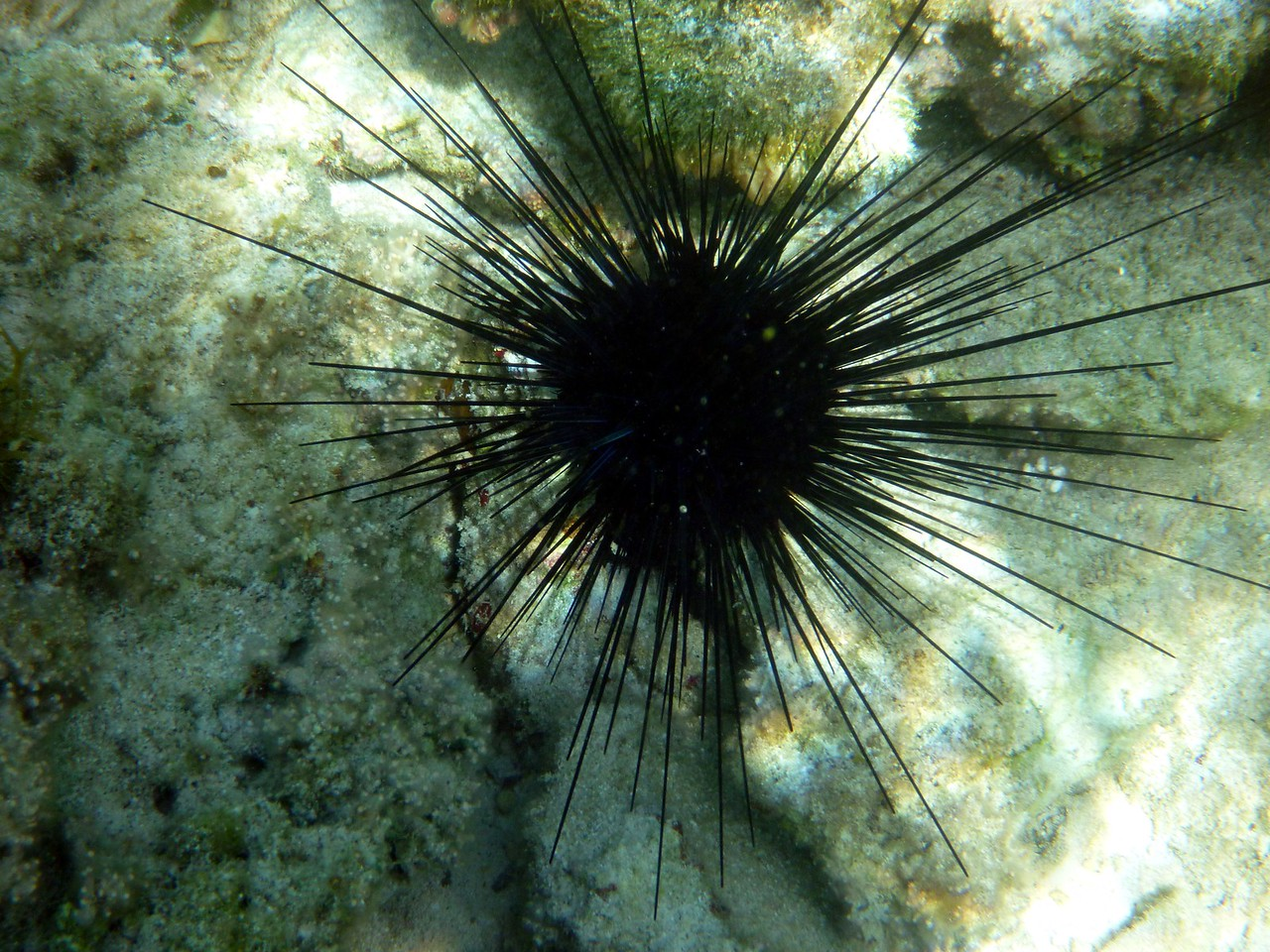 Sea urchin at snorkeling spot called 4th hole at the Cape Eleurthera Resort.