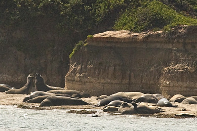 August 1, 2010 Ano Nuevo state Reserve. Male elephant seals come to the island in the summer months to molt.