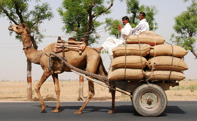 India Transportation: Camel cart