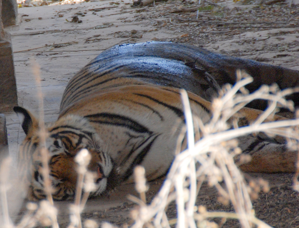 One of two tigers we saw in the wild at the Ranthambore Nature Preserve at a distance of about 20 feeet (they are used to people in jeeps staring at them).  it was lying in the shade of a day when the temperature was about 115 degrees.