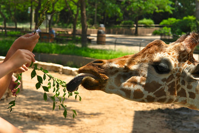 Feeding the giraffes - 2