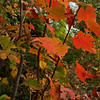 The size of the maple doesn't matter... The leaves are almost always colourful from the smallest shrub to the most majestic tree.