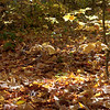 Around 30-40% leaf fall means a good carpet of fresh leaves covers much of the forest floor.