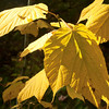 A more generic yellow leaf in a sunny spot.