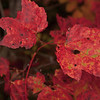 Very red leaves