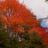 A brilliantly red tree amidst the evergreens on the lake edge of our campsite on Islet Lake.