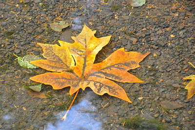 A maple leaf under water in Battleground Lake.