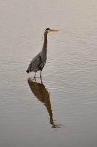 Great Blue Heron - Mary E. Theler Wetlands Trail - Belfair, WA