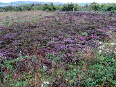 Heather, Ring of Brodgar, Orkney Isles