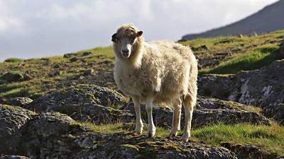 Faroe Isles, sheep are everywhere!