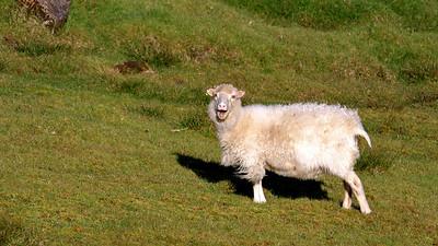 Baaaa, Faroe Isles
