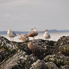 Seagulls resting on a rock.
