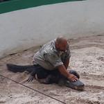 Videoklipp nr 1 fra brytekamp med alligator. Fyren prøvde å gjøre et triks: Holde hodet i dyrets åpne munn uten å bruke hendene...