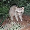 En racoon (vaskebjørn), tilsvarende den vi med skrekk så ved hotellet vårt tidligere i uka. Denne er imidlertid utstoppet og oppbevart på besøkssenteret til NASA...