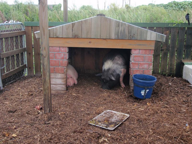 I reptilparken hadde de også noen pattedyr, her representert ved en vanlig rosa gris og en litt villere variant...<br /> Ser ut som ulven allerede har vært her en gang, for huset deres er bygd av murstein...