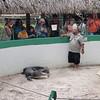 Så begynte øyas store alligator-show. En fyr skulle bryte og gjøre noen triks med denne reptilen.