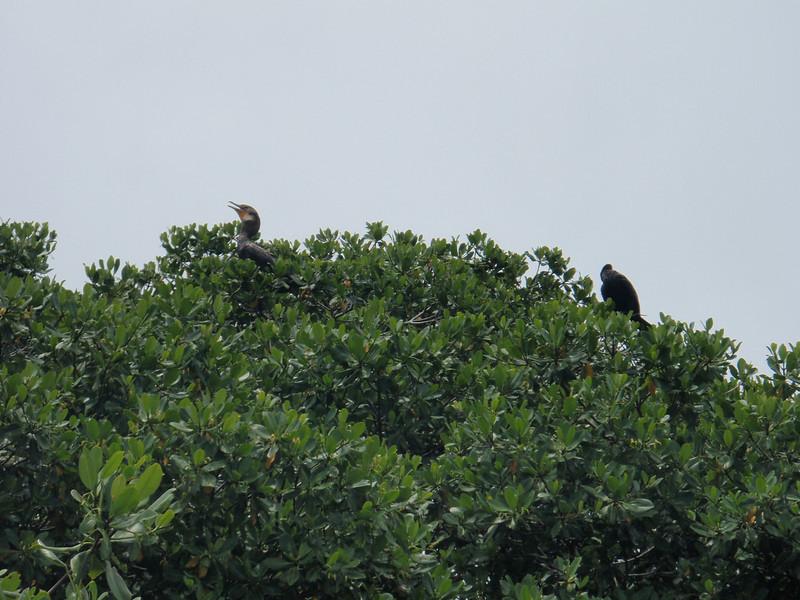"""I følge guiden vår var dette noen fugler som kalles """"Great White Heron"""", og som bare holder til i de karibiske strøk, inkludert Key West."""