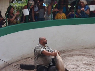 Videoklipp 2 fra brytekamp med en alligator på øya til Jungle Queen. Her kommer han litt nærmere et vellykket triks.