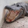 Her er bildet mannen tok for oss. Rimelig bra close-up :)<br /> Ser at alligatoren har ødelagt ei tann...