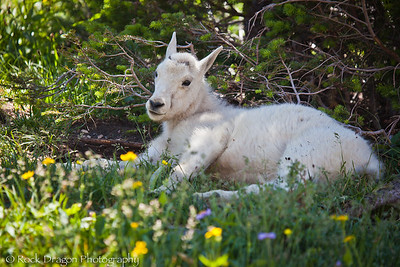 A baby Mountain Goat in Glacier National Park Montana.