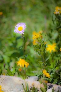 Wild flowers in Glacier National Park Montana.