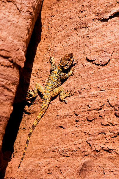 Colorful Petra's lizard.