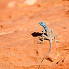 I saw three different types of lizard at Petra. This blue one was my favorite.