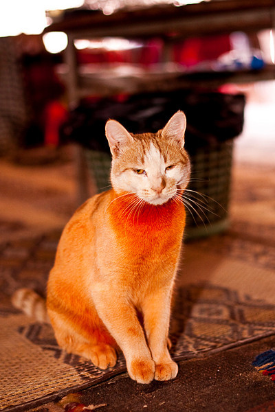 """""""Garfield"""". Wadi Rum.<br /> <br /> The orangiest cat ever!  The orange was the result of dying her fur with Henna, a plant used since antiquity to dye hair, nail, skin, etc."""
