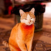 """Garfield"". Wadi Rum.<br /> <br /> The orangiest cat ever!  The orange was the result of dying her fur with Henna, a plant used since antiquity to dye hair, nail, skin, etc."