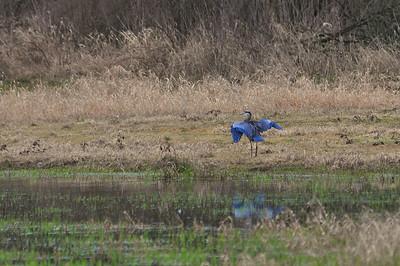 Great Blue Heron Just Landed - Ridgefield National Wildlife Refuge