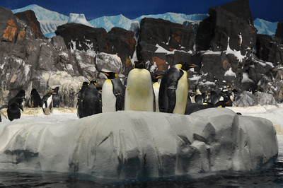 Sea World - Penguin Area - Emperor Penguins