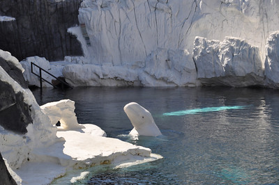 Beluga Whale - Part of the Wild Arctic ride/exhibit - Even if you don't want to do the ride, the exhibit is a do not miss!