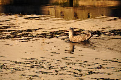 A seagull in afternoon golden light.