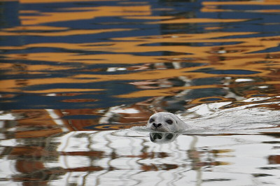 Harbor seal swims in the reflection of a tall ship.